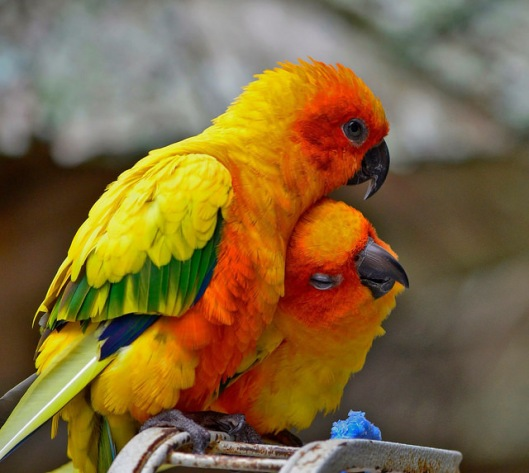 http://photo.jellyfields.com/image/F@1/15946952139/z/sean-curran,sun-conures-sunconure-conure-bird-parrot-cute-love-sarasota-florida-nikon-d5100-photography-photograph-wildlife-nature.jpg